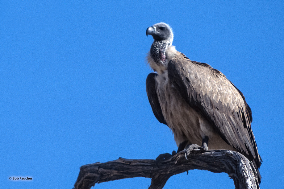 Perched in a dead tree, a White-backed Vulture has whitish back, wing coverts, neck underparts; black flight feathers.  Like...