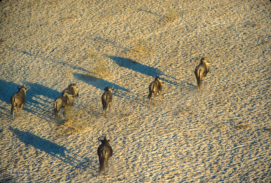 Botswana,Africa,Wildebeest,Boteti River,Kalahari desert, photo