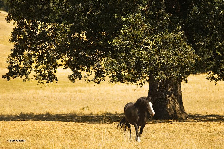 Work horse,oak tree, photo