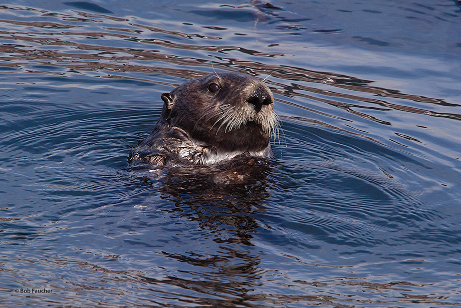 Young otters (Enhydra lutris). like all younger animals, are curious. This individual was intent on the photographer, an intruder...