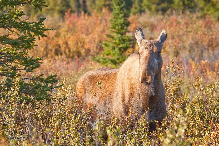 moose,alces alces,cow,Denali NP,Alaska, photo
