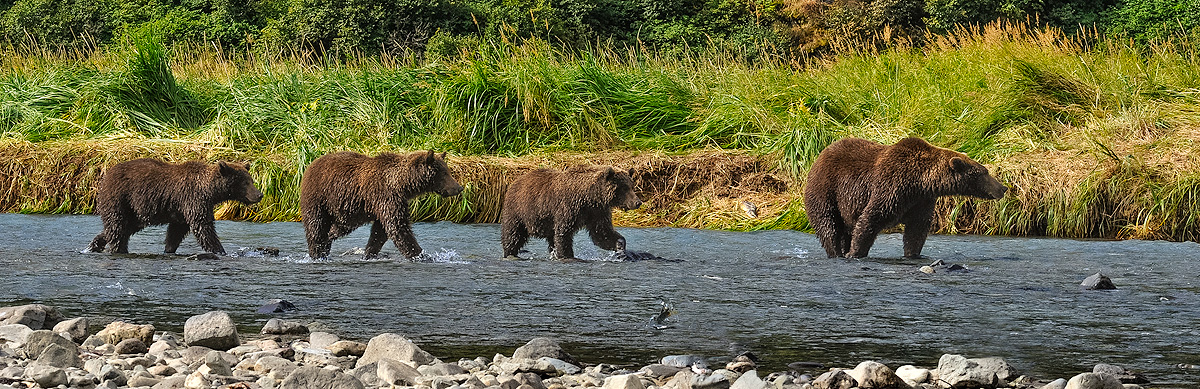 Sow brown bear leads her three cubs upriver in search of food. Kitoi Bay, Kodiak Island, Alaska. Photo © copyright by Michele...