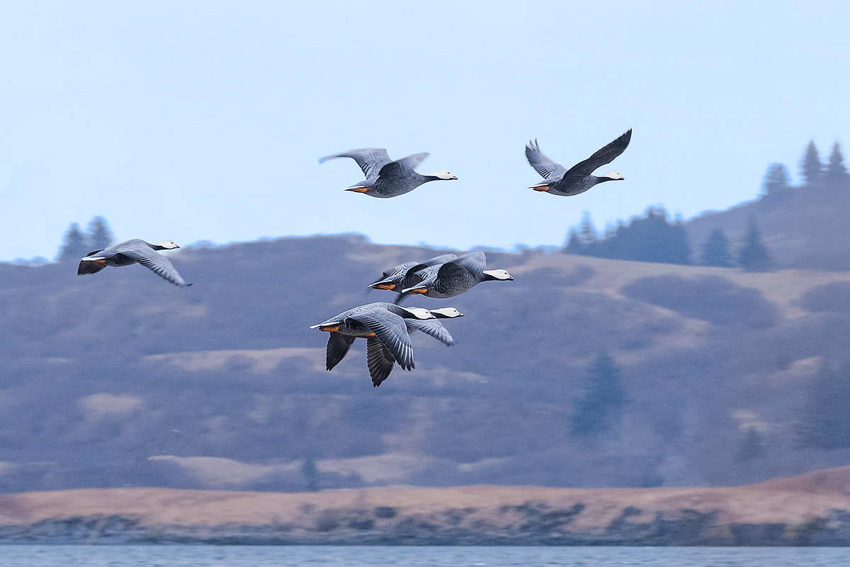 Emperor geese arrive on Kodiak Island's Womens Bay early in Spring for nesting.